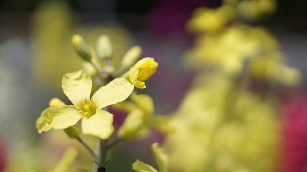 写真: DSC02629新子安公園の花5月