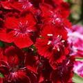 写真: DSC02633新子安公園の花5月