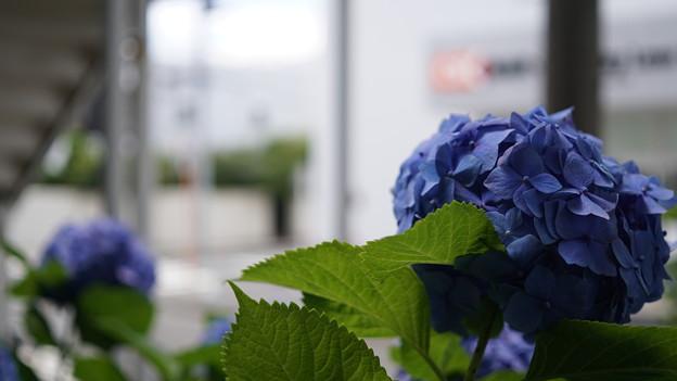 写真: 街撮り紫陽花3