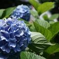 写真: 街撮り紫陽花4