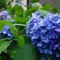 写真: 街撮り紫陽花6
