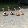 写真: 鴨の行進