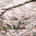 2256 桜満開の水の都@岐阜