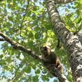 写真: 2262 キリンディー保護区のキツネザル@マダガスカル