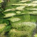 写真: 2292 清流に咲く梅花藻@山形