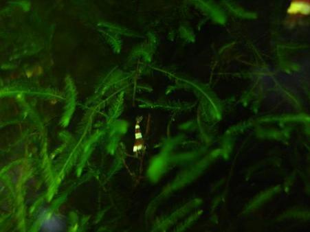 20090719 60cm水槽の稚エビ