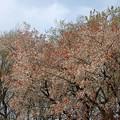 写真: ヤマザクラ、町田市 066Rev1