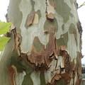 写真: プラタナスの幹