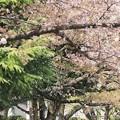 写真: 桜散る