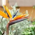 写真: 極楽鳥花
