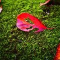 写真: 桜の落ち葉