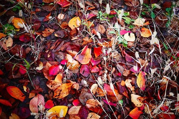 写真: 桜落ち葉