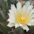 写真: サボテンの花 → 多肉植物の花