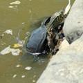 鶴岡八幡宮の池で