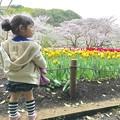 写真: 桜とチューリップと娘