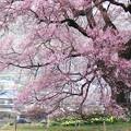 写真: 春雨に煙るー1