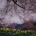 写真: 春雨に煙る-2
