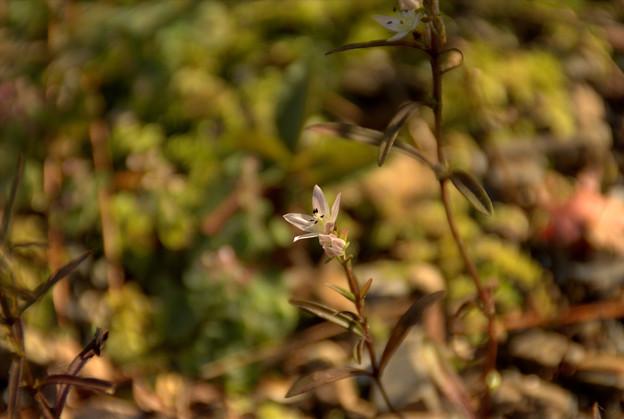センブリ(Swertia japonica)