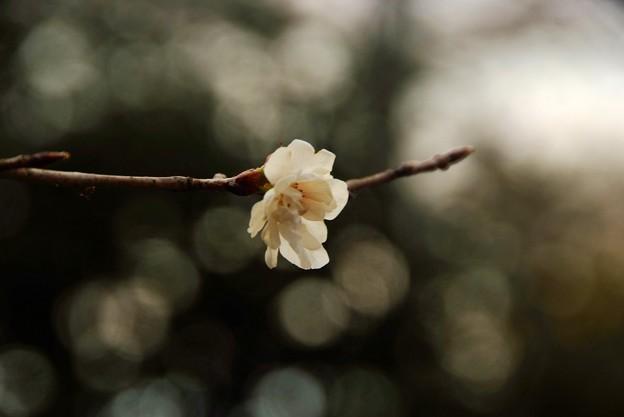 梅は咲いたか 桜はまだかいな・・・・