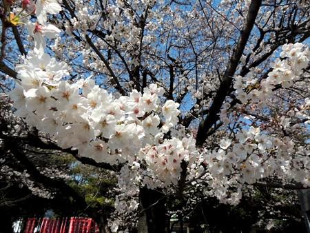4/4(火) 桜満開 ナゴド開幕戦は広島戦 D-STAGE LIVEでスタートです。