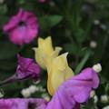 写真: 五月の雨ー可憐なチューリップ