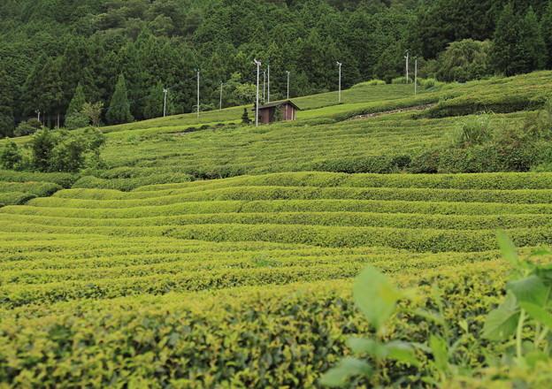上ケ流;茶畑