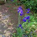 写真: アヤメの季節(自宅の花)
