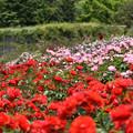 蜂ヶ峯総合公園のバラ 73