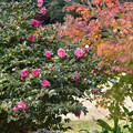 山茶花と紅葉 1