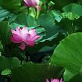 Photos: 薄く大きな花びらに、何本も入った筋模様がきれい・・・