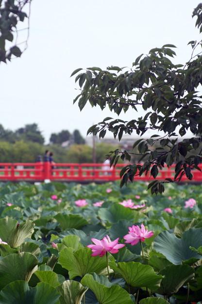 Photos: 『東洋一』が謳い文句の高田公園の蓮