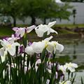 Photos: 白鷺菖蒲3