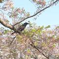 Photos: 桜に烏