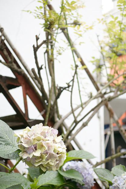 錆階段と紫陽花