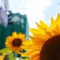 Photos: 街の向日葵