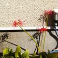 写真: 街角の彼岸花