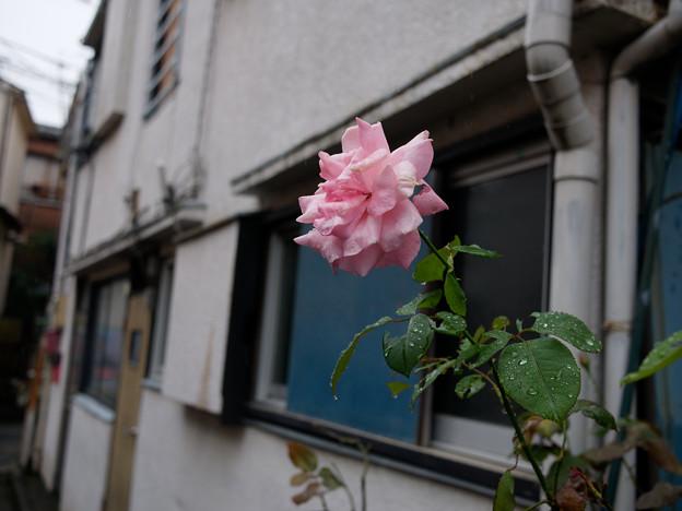 Photos: アパートの薔薇
