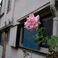 アパートの薔薇