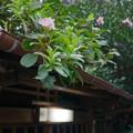 写真: 軒先の花