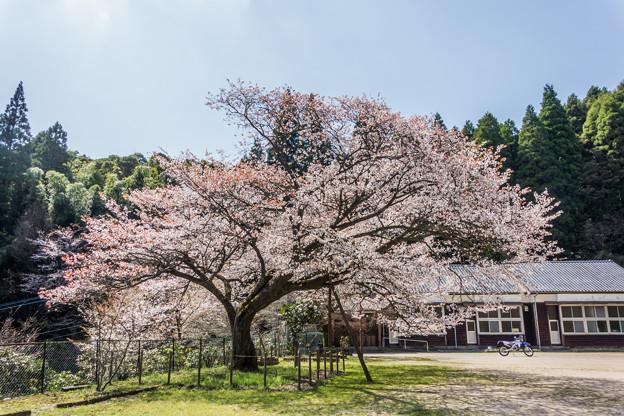 旧久保山分校の山桜-1