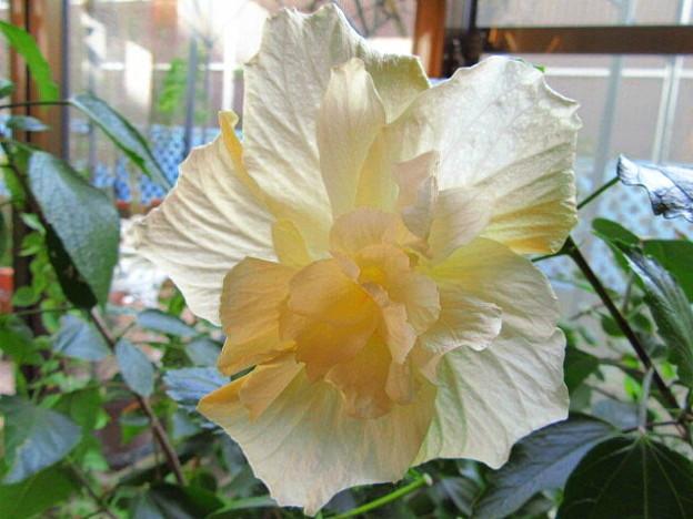 八重咲きハイビスカス