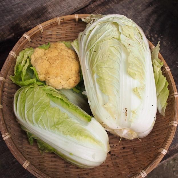 写真: 白菜&カリフラワー
