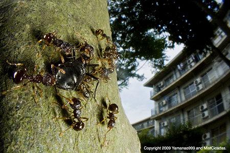 クリオオアブラムシと蟻の一種