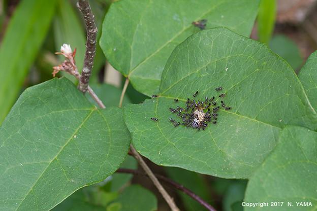 アリの一種