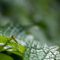 写真: カマキリの一種