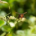 写真: ヒメスズメバチ