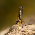 写真: ヒメバチ科の一種