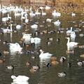 3.白鳥と鴨の集団-C