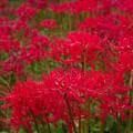 紅い花畑2