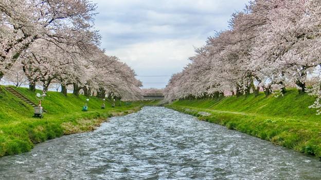 舟川桜並木